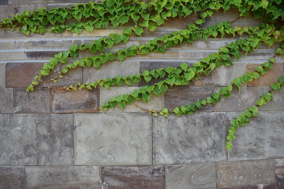 popínavá rostlina na zdi
