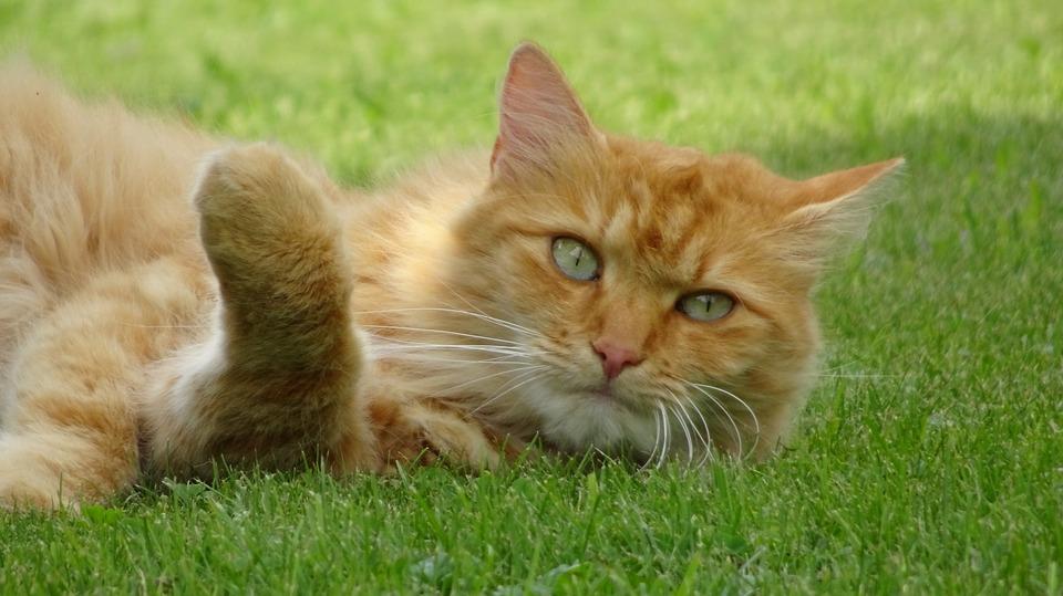 zrzavá kočka